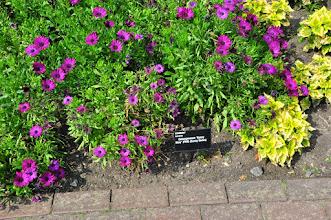 Photo: Osteospermum 'Sunny' RHS gardens Wisley