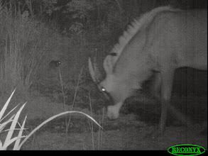 Photo: Roan and cane rat Palanca vermelha e paca