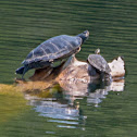 Northern Map Turtle, common map turtle
