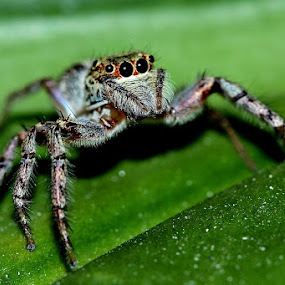 spider by Edwin Yepese - Animals Insects & Spiders ( insects & spiders, macro, nature up close )