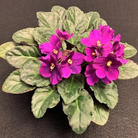 African Violet by Carol Leynard - Instagram & Mobile iPhone ( potted plant, house plant, saintpaulias, african violet, flowering plant )