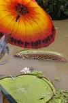 oranje parasol boven water met brede, ronde, bladen van waterplanten