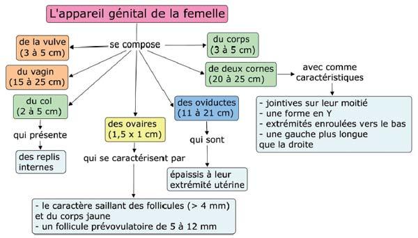Anatomie de l'appareil génital du camélidé femelle