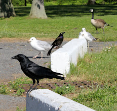 Photo: Fish Crow mobbed by Common Grackle