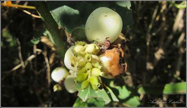 Photo: Hurmuz alb (Symphoricarpos albus) - de pe Calea Victoriei, alee Mr.2 - 2016.09.22