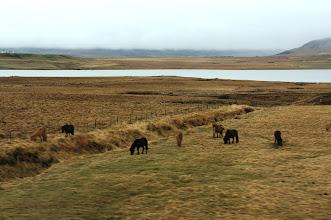 Photo: Icelandic horses along the Ring Road.