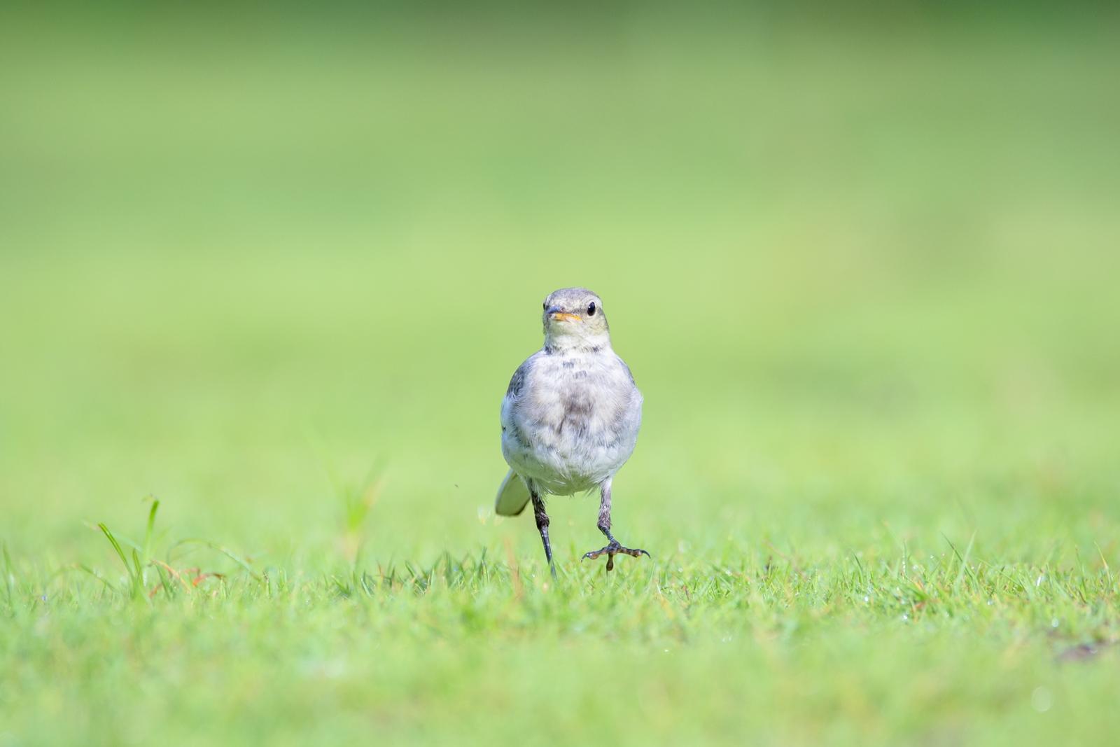 Photo: さんぽ Walk.  直向な気持ち 少しずつ前へと進む 無理なくマイペースに そして楽しみながら  White Wagtail. (ハクセキレイ)  #birdphotography #birds #cooljapan #kawaii #nikon #sigma  Nikon D7200 SIGMA 150-600mm F5-6.3 DG OS HSM Contemporary
