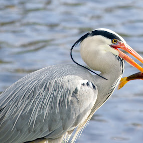 Heron, Fishing by Tristram Heald - Animals Birds (  )