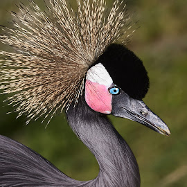 Crane 9951~ by Raphael RaCcoon - Animals Birds