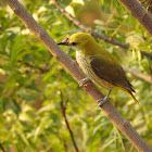Indian golden oriole (हळद्या)