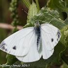 Small White;
