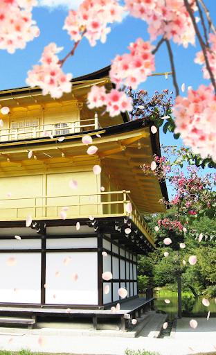 【Sakura dance fall Kinkakuji 】