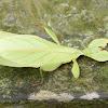 Arthur Chung Leaf Insect