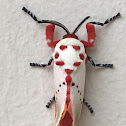 Peppermint moth
