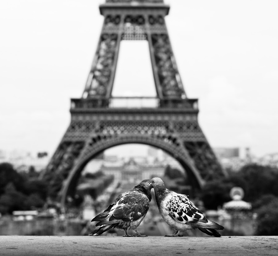 paris: even pigeons feel it by Pamela Ross - City,  Street & Park  Street Scenes ( pigeon, b/w, kiss, paris, tower, tour eiffel, street, scene, eiffel, france, birds )