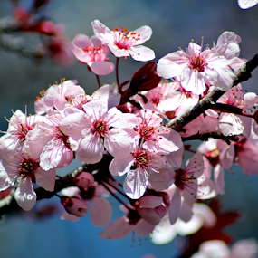Spring Blossoms by Tony Huffaker - Flowers Tree Blossoms ( spring, pink, flowers, tree )
