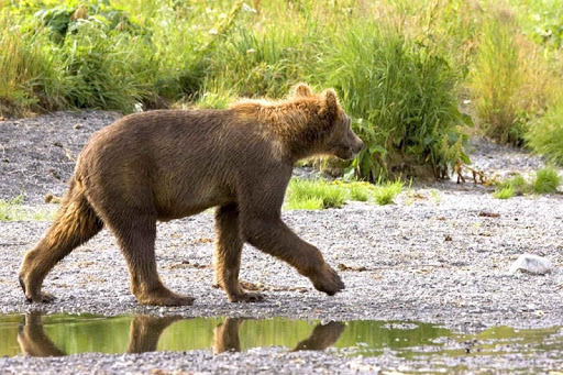 Brown Bears Wallpaper Images