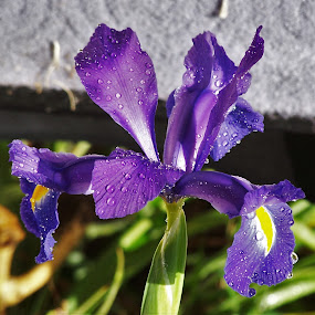 Iris by Sarah Harding - Novices Only Flowers & Plants ( plant, nature, novices only, garden, flower,  )