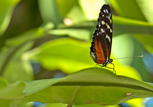 Photo: That's a longwing if I ever saw one! Longwings are known for their long wings. This one is Tiger Longwing (Heliconius hecale). Photo by Don Williamson Photography