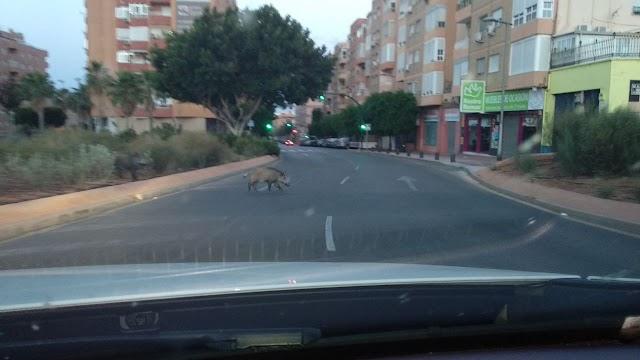 Una pareja de jabalíes cruzando por la calle Granada de la capital.