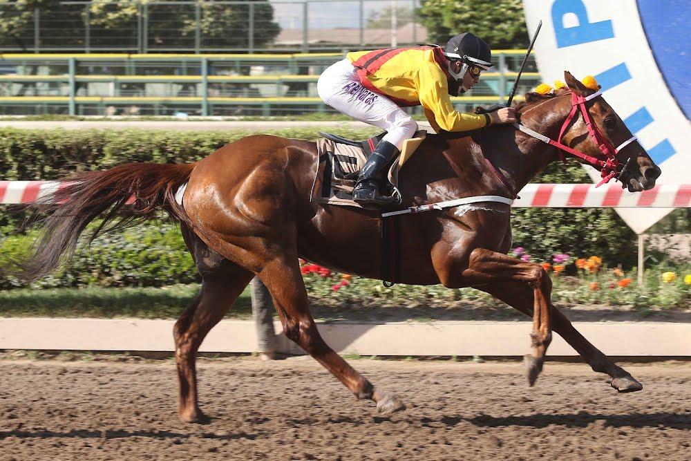 Silvestrin (Daddy Long Legs) conquistó Handicap (1200m-Arena-HCH). - Staff ElTurf.com