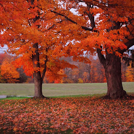 by Vicki Switala Riley - Landscapes Weather ( red, orange, foliage, yard, maple tree, fall, leaves, maple leaves, autumn colors, autumn leaves, autumn,  )