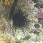 Long-spined Urchin