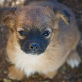 hey there by Savannah Eubanks - Animals - Dogs Puppies ( small, puppy, canine, looking, sweet, dog, cute )