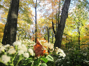 Photo: Warm morning sunlight on white flowers and fall leaves at Hills and Dales Metropark in Dayton, Ohio.