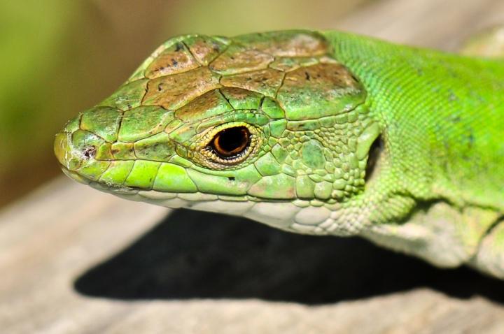 Green lizard di Loredana Pagana