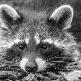 Raccoon by Garry Chisholm - Black & White Animals ( raccoon, mammal, nature, garry chisholm )