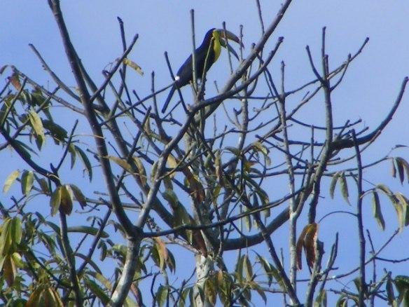 Photo: Toucan in Ceiba Tree