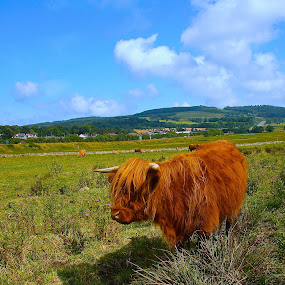 Highland Cow  by Ian Cormack - Animals Other