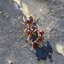 Winter Ant