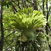 Staghorn Ferns (epiphyte)