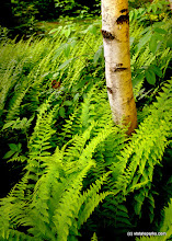 Photo: White birch and ferns at Allis State Park by Gary Bouchard