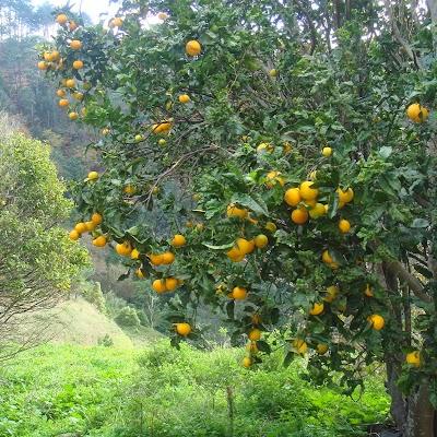 de 'laranjeira' draagt veel vrucht!
