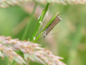 Photo: 9 Jul 13 Priorslee Lake: The silver (in some lights, gold) wing tip on this grass moth identifies it as Garden Grass-veneer (Chrysoteuchia culmella). (Ed Wilson)