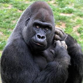Western Lowland Gorilla by Ken Keener - Animals Other ( ape gorilla )