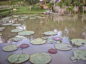 Photo: Giant lily pads