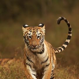 Tiger by Saumitra Shukla - Animals Lions, Tigers & Big Cats ( running, nature, wild cat, yellow, animal, tiger, cubs, big cat, wildlife,  )