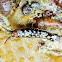 Rockweed isopod