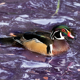 Wood duck by Bert Templeton - Animals Other ( pond, dallas, allen, frisco, texas, ducks, water, bert templeton, wood duck, mckinney, duck, wood, plano, lake, fort worth )
