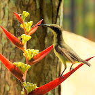 The purple-rumped sunbird-Female