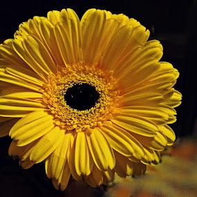 lady in yellow by Adriana Popescu - Flowers Single Flower (  )