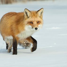 by Jocelyn Rastel-Lafond - Animals Other Mammals ( montreal, cnada, quebec, fox, renard roux, renard, animal, red fox,  )