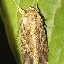 Tobacco cutworm