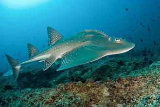 Photo: Bowmouth Guitarfish, Tofo, Mozambique