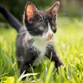 Steve Urkel by Brook Kornegay - Animals - Cats Kittens (  )