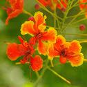 poinciana, peacock flower, red bird of paradise, Mexican bird of paradise, dwarf poinciana, pride of Barbados, flos pavonis, flamboyant-de-jardin
